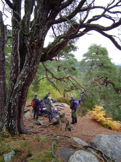 Old Scots Pine and Trees For Life volunteers above Coire Loch Trees For Life are helping restore the native Caledonian Pine Forest in Glen Affric. http://www.treesforlife.org.uk/